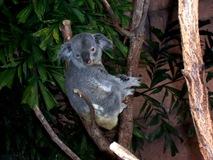 2004.08.25-070 koala