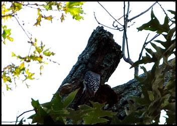 01b - Morning walk - Red Bellied Woodpecker entering the nest