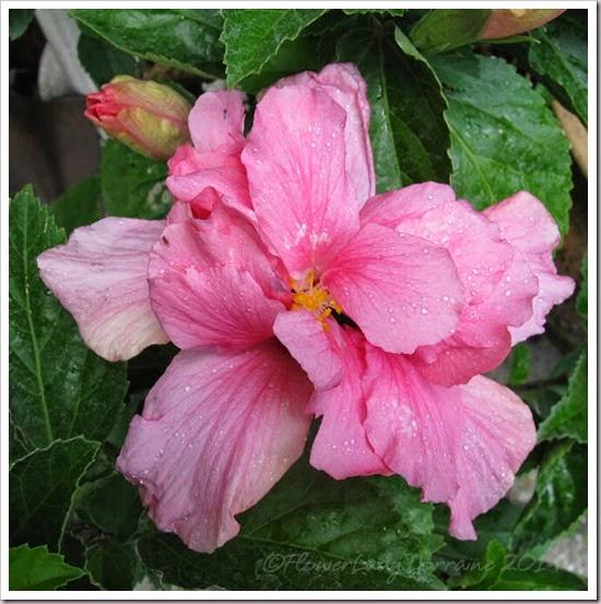 05-14-pink-hib