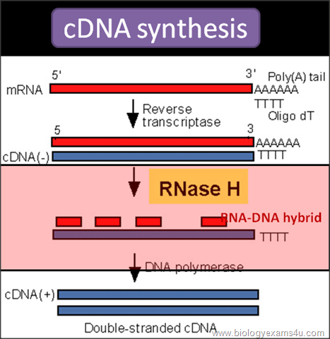 Enzymes in rDNA or Recombinant DNA Technology ~ Biology Exams 4 U