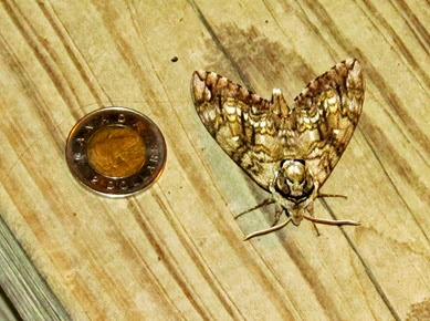 1406243 Jun 27 Moth At Cabin