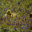 two goslings in blue flowers.jpg