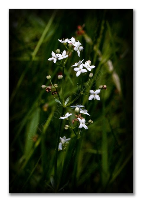 1 Jewels 16 C Marsh-bedstraw