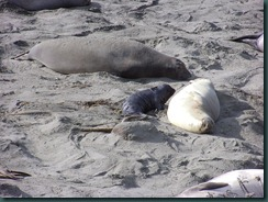 Elephant Seals 2012 004