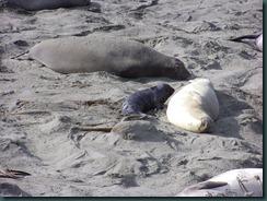 Elephant Seals 2012 004