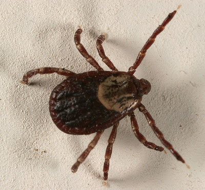 Dog Tick