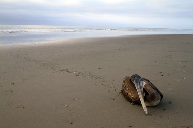 A dying pelican crawled from the surf to die on the beach in Tumbes, Peru, near the border with Ecuador. Hundreds of dolphin and seabirds have been found dead on the beaches of Peru in 2011 and 2012. Silvia Oshiro / Agence France-Presse / Getty Images