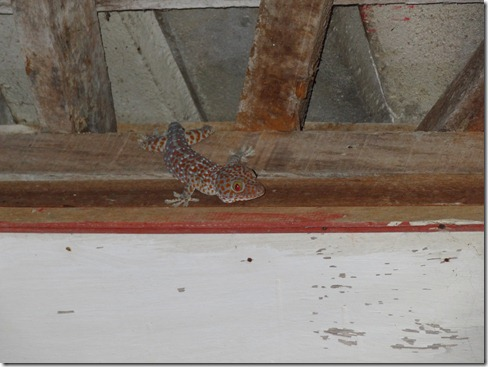 12 11 Bali (614) Gili Trawangan Tokay Gecko