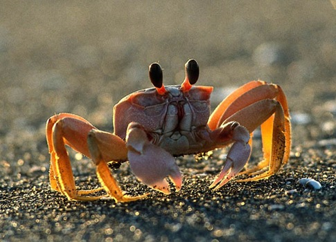 fiddler crab 01