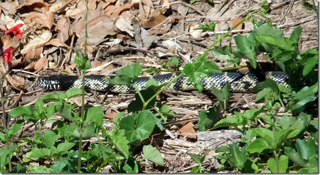 wild kingsnake 4-22-2013 10-29-42 AM 3616x2712