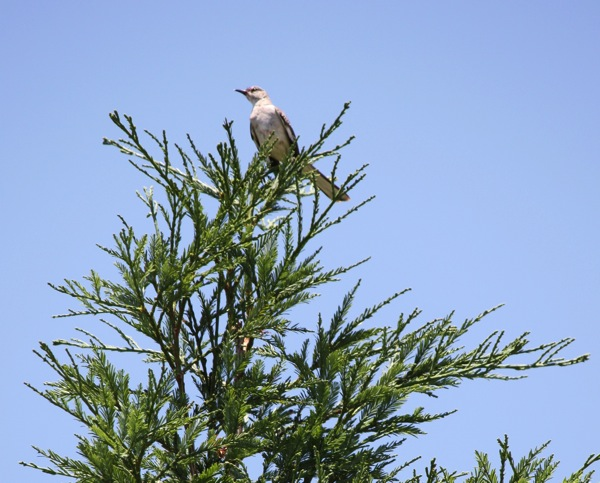 bird redwood tree