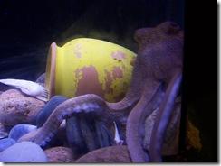 2012.09.02-032 poulpe