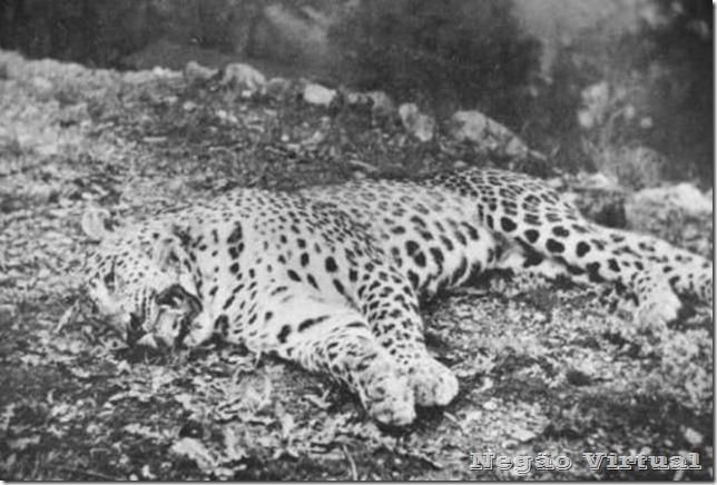 leopardo panar
