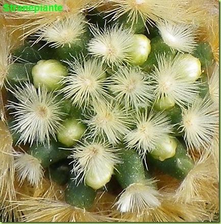Mammillaria carmenae boccioli