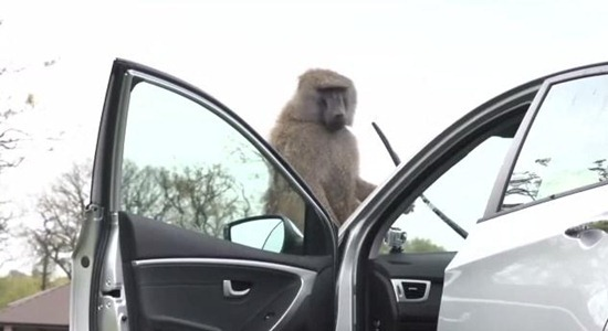 macacos Huyndai 02