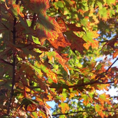 黄から赤に色付きつつある葉