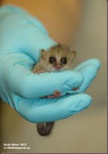 Amazing Pictures of Animals photo Nature exotic funny incredibel Zoo Lemur. Alex (8)