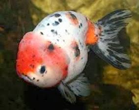 Amazing Pictures of Animals, Photo, Nature, Incredibel, Funny, Zoo, Ranchu, Goldfish, Alex (10)