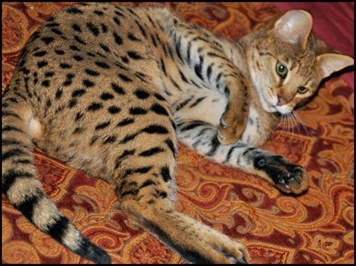 Amazing Pictures of Animals, Photo, Nature, Incredibel, Funny, Zoo,  Savannah cat,  domestic hybrid cat, Alex (5)