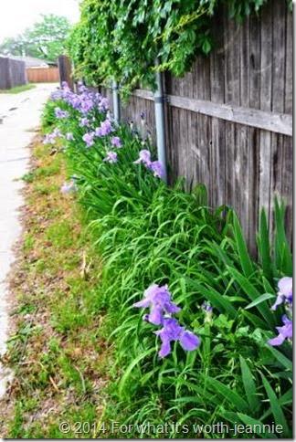 grandmothers iris