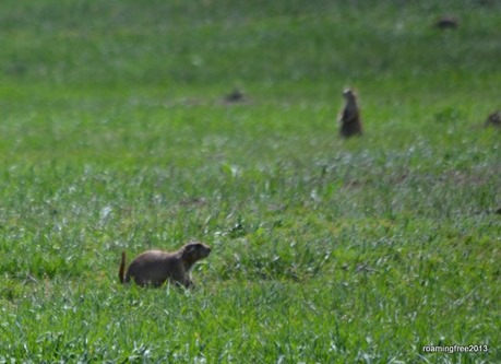 Prairies Dogs