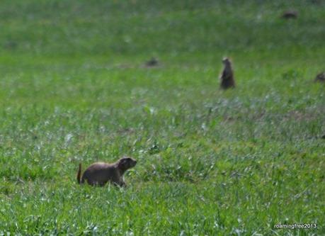 Prairies Dogs