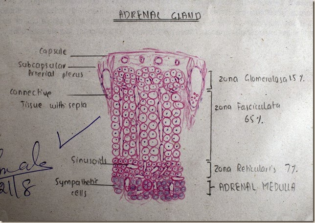 Adrenal Gland high resolution histology diagram