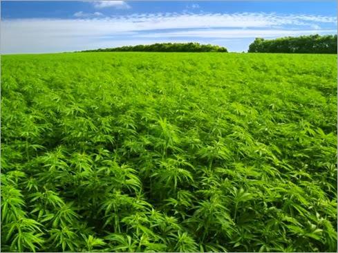 plantacion-cannabis