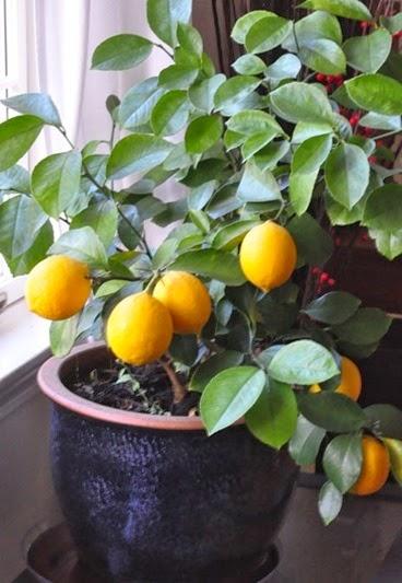 lemons_NL