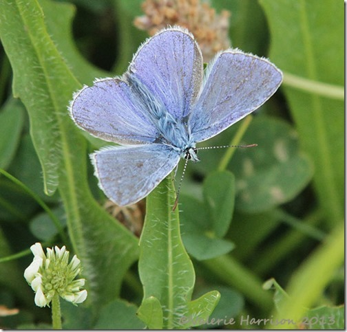 13-common-blue