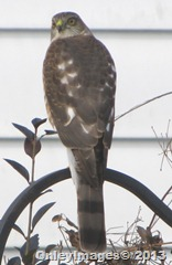 sharpshin hawk  face