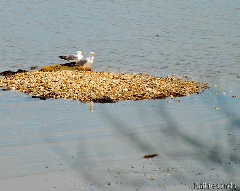 7. gulls-kab