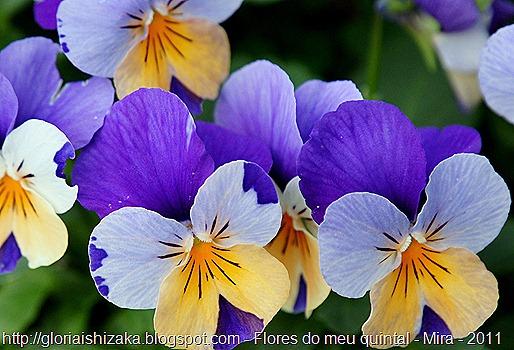 amor perfeito de Gloria Ishizaka - Meu jardim em Portomar, Mira