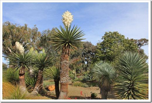 130413_RBG_Yucca-carnerosana_03