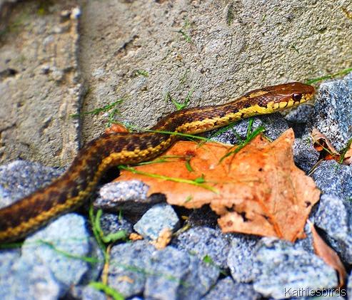 6. garter snake-kab