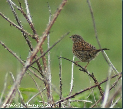 34-juv-dunnock