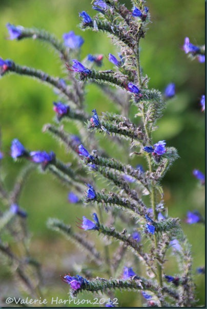 21-vipers-bugloss
