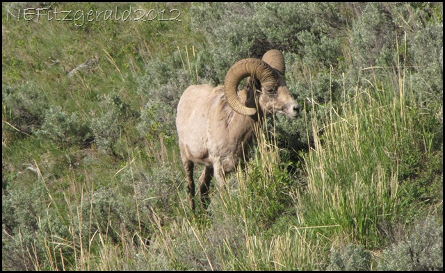 IMG_1752Bighorn Sheep