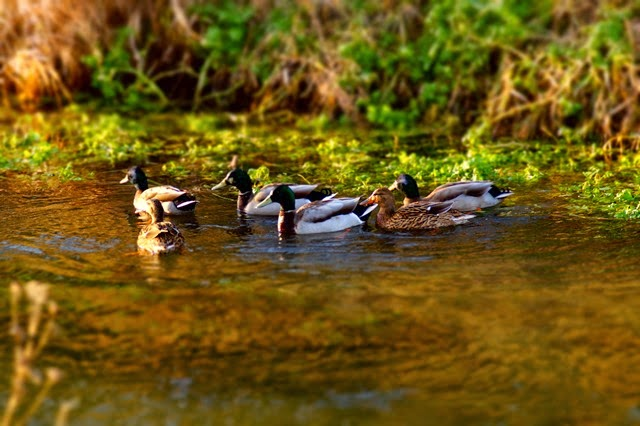 tilt/shift ducks