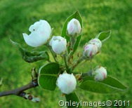 pear blossoms0407 (5)