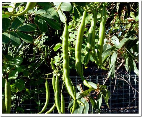 BeansP1030710