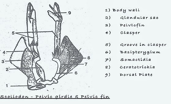 pelvic-girdle-fish