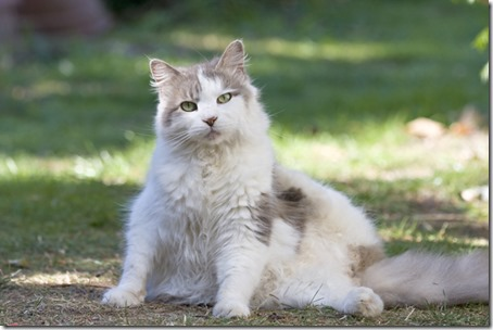 fluffy grey and white domestic cat