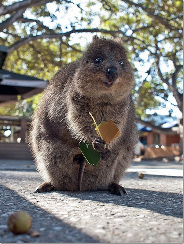 Quokka O animal mais feliz do mundo (5)