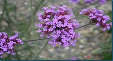 host plant for Buckeye - verbena