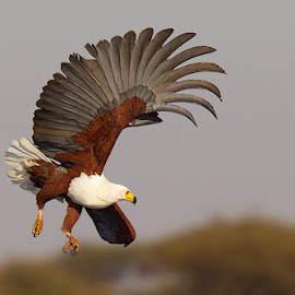 African Fish Eagle  by Chris Kotze - Animals Birds ( bird, eagle, african, fish, chris.kotze )