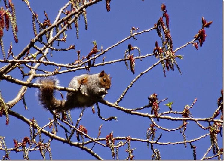 seattle squirrel 031215 00000