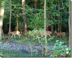 Deer near the Trail at Tanglewood