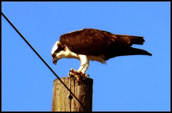 03d - E.G. Simmons - Wildlife - Osprey