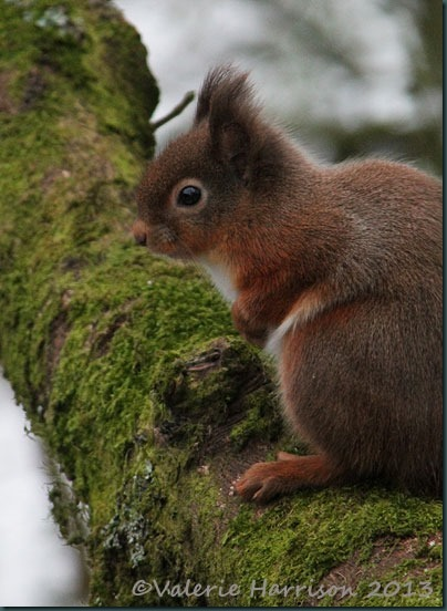 red-squirrel-6